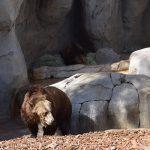 Орегонский медведь