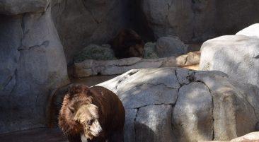 Медведь – Что делать если вы встретили черного медведя?