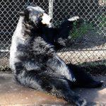 Черные медведи