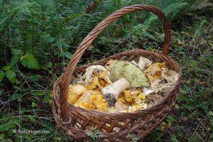 Сбор грибов в Америке